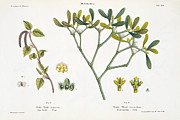 Holidays Drawings Prints - Birch and Mistletoe Print by Matthias Trentsensky