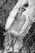 Peeling Bark Prints - Birch and Snow Black and White Print by Mary Bedy