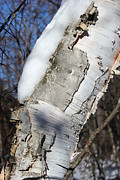 Peeling Bark Prints - Birch and Snow Print by Mary Bedy