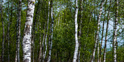 Hannes Cmarits - Birch Forest In The ...