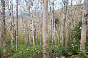 Erin Paul Donovan - Birch Forest - Mount...