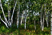 Birch Bark Tree Prints - Birch Grove in the Sunlight Print by Michelle Calkins
