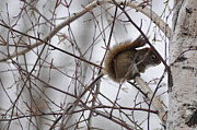 Squirrel Painting Acrylic Prints - Birch Squirrel Acrylic Print by Diane E Berry