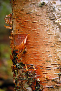 Peeling Bark Prints - Birch Tree 1 Print by Larry Ricker