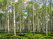 Birch Tree Grove In Summer Print by Randall Nyhof