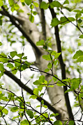 Green Background Posters - Birch tree in spring Poster by Elena Elisseeva