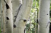 Saija  Lehtonen - Birch Tree Patch