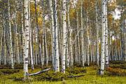Birch Trees In Autumn Print by Randall Nyhof