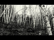 Jerry Cahill - Birch Trees