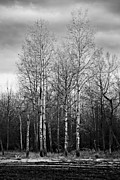 Lindsey Weimer - Birch Trees