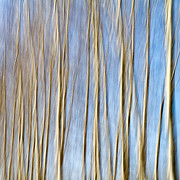 Aspen Framed Prints - Birch Trees Framed Print by Stylianos Kleanthous