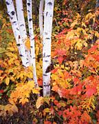 Upper Peninsula Framed Prints - Birches and Maples in Michigan Framed Print by Ray Mathis