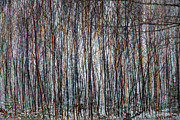 Park Scene Originals - Birches by Gary Gish