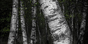 Birches Print by Hannes Cmarits
