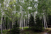 Nh Photos - Birches by Heather Applegate
