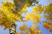 Herfst Posters - Birches in autumn colors Poster by Marleen  Bos