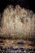 Silvia Ganora Framed Prints - Birches in Winter Framed Print by Silvia Ganora