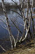 Michael Friedman Framed Prints - Birches on the River Framed Print by Michael Friedman