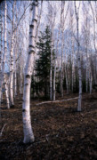 Birch Tree Metal Prints - Birches Metal Print by Skip Willits