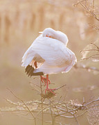 Water Bird Photos - Bird Art - Everglades Ibis Sleeping on a Foggy Morning  by Bill Swindaman