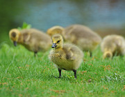 Bird Watcher Posters - Bird - Baby Goose -Leader of the Pack Poster by Paul Ward