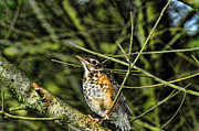 Bird In Tree Posters - Bird - Baby Robin Poster by Paul Ward