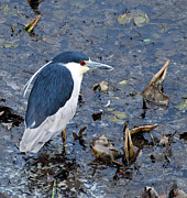 Bird Watcher Posters - Bird - Black Crowned Night Heron Poster by Paul Ward