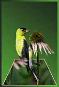 Card For Photographer Framed Prints - Bird Eating Seeds Framed Print by Thomas Woolworth