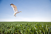 Engagement Prints - Bird flying over green grass Print by Michal Bednarek
