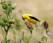 Bird -gold Finch Feasting  Print by Paul Ward
