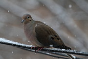 Fly Prints - Bird In Snow - Animal - 011311 Print by DC Photographer