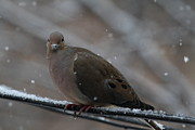 Bird In Snow - Animal - 011312 Print by DC Photographer