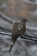 Feathers Prints - Bird In Snow - Animal - 01132 Print by DC Photographer