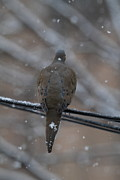 Bird In Snow - Animal - 01135 Print by DC Photographer