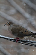 Beak Photos - Bird In Snow - Animal - 01136 by DC Photographer