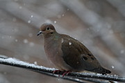 Feathers Photos - Bird In Snow - Animal - 01138 by DC Photographer