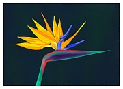 Britt Cagle - Bird of Paradise 2