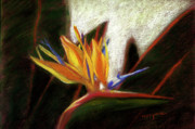 Bird Of Paradise Flower Pastels - Bird of Paradise by Addie Hocynec