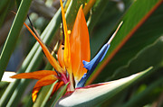 Blooms Framed Prints - Bird of Paradise Framed Print by Aimee L Maher