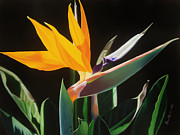 Photorealistic Posters - Bird of Paradise Poster by Annette Weiner