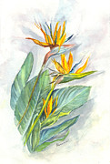 Bird Of Paradise Drawings - Bird of Paradise by Carol Wisniewski