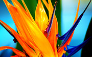 Yellow Bird Of Paradise Posters - Bird of Paradise Flower 3 Poster by Susanne Van Hulst
