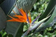 Alexander Galiano - Bird of Paradise Flower