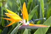 Featured Prints - Bird of Paradise Flower Print by Brandon Tabiolo