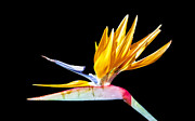 Lynn Bolt - Bird of Paradise Flower