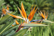 Reginae Framed Prints - Bird-of-Paradise Flower Framed Print by Neil Overy