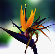 Yellow Bird Of Paradise Posters - Bird of Paradise Flower - Square Poster by Susanne Van Hulst