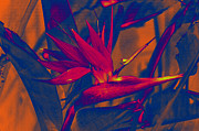 Susanne Van Hulst Prints - Bird of Paradise Flower Print by Susanne Van Hulst