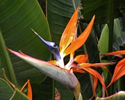 Floral Metal Prints - Bird of Paradise Flowers Metal Print by Kim Bemis