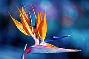 Gunter Nezhoda Metal Prints - Bird of Paradise Metal Print by Gunter Nezhoda
